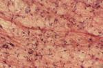 Рыхлая соединительная ткань под микроскопом, 600x