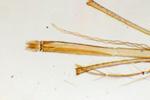 Ротовой аппарат комара под микроскопом, 60x